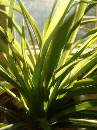 Spider Plant File Spider Plant Blades Jpg Wikimedia Commons