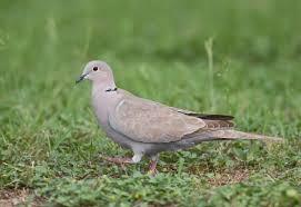 Dove Migration Map Eurasian Collared Dove Audubon Field Guide