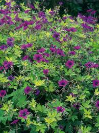ground covers for your garden hgtv