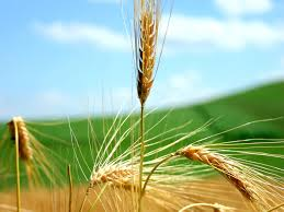 wheat wallpaper plants nature wallpapers in jpg format for free
