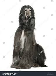 afghan hound of america afghan hound 7 years old sitting in front of white background