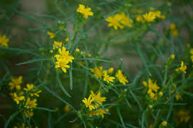 native sonoran desert plants a small sunny garden a wildflower for wednesday