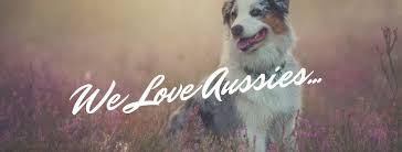 australian shepherd furever australian shepherd dog home facebook