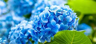 blue flower blue flower 2405 hdwarena