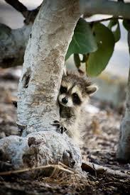 344 best fluffy raccoon images on pinterest animals wild