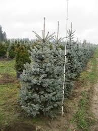 img 1101 premier trees