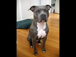 american pitbull terrier blue dog tag blue nose pit bull terrier does tricks youtube