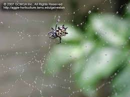 beneficial spiders in the landscape 23 spiny orb weaver spider