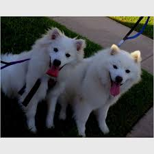 standard american eskimo dog vs samoyed 17 best images about i think dallas needs a friend on pinterest
