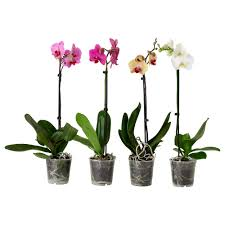 phalaenopsis potted plant ikea home office pinterest