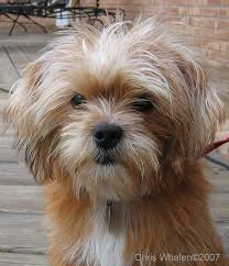pictures of shorkie dogs with long hair the 10 best images about animals on pinterest pastel drawing