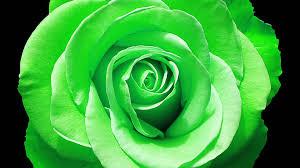 green rose in full bloom wallpapers