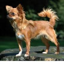 long hair chihuahua hair growth what to expect chihuahua breed information history health pictures and more
