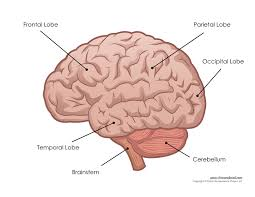 Human Brain Mapping Labeled Diagram Of The Brain With Functions Diagram Gallery