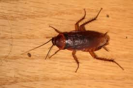light brown roach looking bug everything you need to know about wood roaches