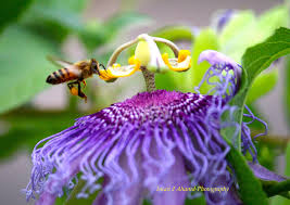 passion flower and a honey bee collecting the nectar the secret
