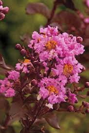 buy delta eclipse crape myrtle for sale from wilson bros