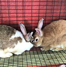Rabbit Hutch For Multiple Rabbits Build A Backyard Rabbit Hutch U2013 Farm Fresh For Life U2013 Real Food