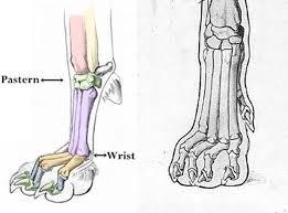 Dog Anatomy Front Leg Real Dog Paws Anatomy