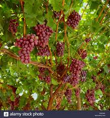 produce crimson seedless grapes on the vine grown with a full