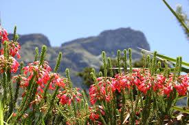 Kirstenbosch Botanical Gardens 10 Things To Do In Cape Town S Kirstenbosch National Botanical