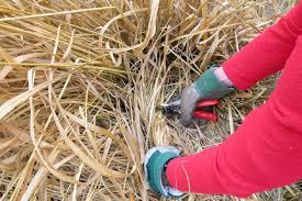 ornamental grasses cutting back rhs gardening