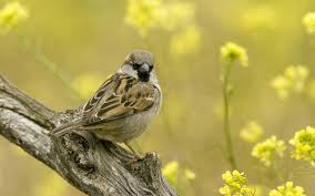 Cool Sparrow - sparrow wallpapers ozon4life