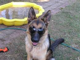 belgian shepherd rescue qld kassaar german shepherds dog breeders esk