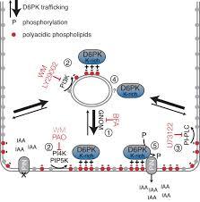 phospholipid composition and a polybasic motif determine d6