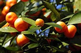 sweet orange tree a profile of a tree howstuffworks