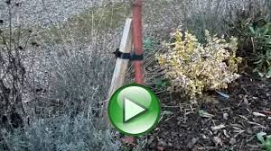 cherry tree planting pruning care advice ornamental trees ltd