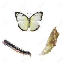 butterfly life cycle stock photos u0026 pictures royalty free