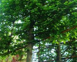 trees deciduous evergreen for sale