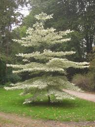 variegated dogwood trees learn about wedding cake tree care