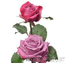 lavender roses buy maritim lavender roses for wedding