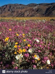 california anza borrego desert state park dune evening primrose