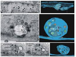 viruses free full text 3d analysis of hcmv induced nuclear