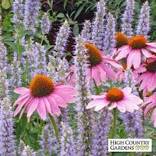 echinacea flower purple coneflower plants echinacea purpurea plants high