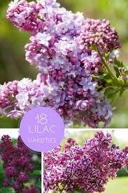 Shrub With Fragrant Purple Flowers - 18 vibrant fragrant lilac varieties u003e http www hgtvgardens