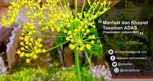 Teh Adas manfaat dan khasiat tanaman adas foeniculum vulgare mill