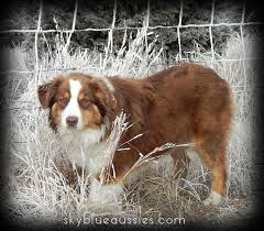 rockin b miniature australian shepherd 105 best australian shepherds images on pinterest dog aussies