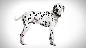 dalmatian dog breed selector animal planet
