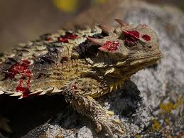 Horny Toad Meme - the horny toad lizard can purposefully rupture vessels in its eyes