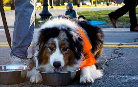 australian shepherd service dog veterans walk with canines to honor service dogs who saved their