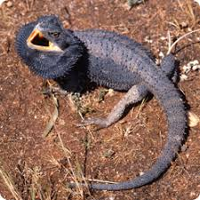 dark green bearded dragon