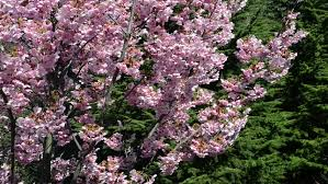 european plum tree plums on branch stock footage
