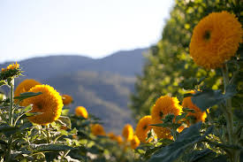 teddy sunflowers 6 facts about s teddy sunflowers province winery