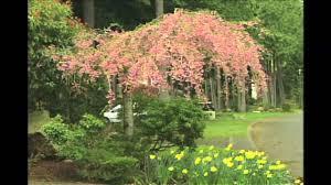 Flowering Cherry Shrub - weeping flowering cherry tree youtube