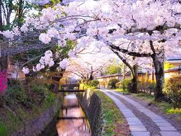cherry blossom in everything you need to to plan a trip