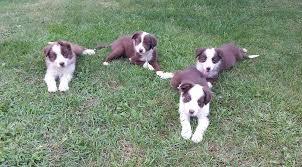 8 week old australian shepherd mix australian shepherd border collie mix pups in hoobly classifieds